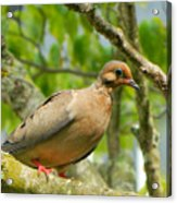 Morning Dove Acrylic Print