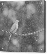 Morning Dove In The Rain Acrylic Print