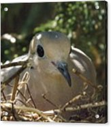 Morning Dove On Her Nest Acrylic Print