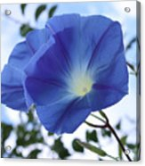 Morning Glory Delight Acrylic Print