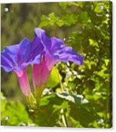 Morning Glory I Acrylic Print