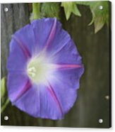 Morning Glory On Fence Acrylic Print