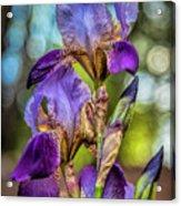 Morning Iris Acrylic Print