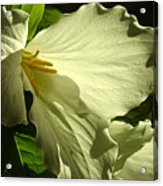 Morning Light - Trillium Acrylic Print