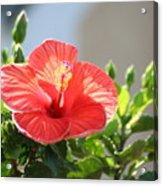 Morning Light Hibiscus Acrylic Print