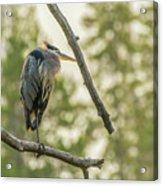 Morning Light On Great Blue Heron Acrylic Print