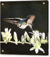 Morning Nectar Flyby  Acrylic Print
