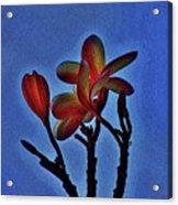 Morning Plumeria Acrylic Print