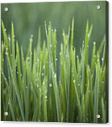 Morning Rain On Rice Acrylic Print