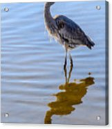 Morning Reflections Of A Great Blue Heron Acrylic Print