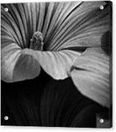 Morning Rose Mallow Acrylic Print