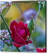 Morning Rose Acrylic Print