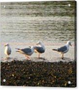 Morning Seagulls Acrylic Print