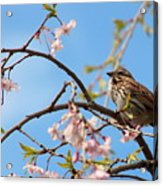 Morning Song Sparrow Acrylic Print