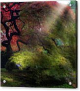 Morning Sun Rays On Old Japanese Maple Tree In Fall Acrylic Print