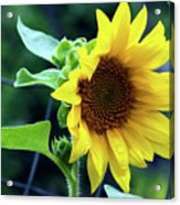 Morning Sunflower Acrylic Print