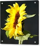 Morning Sunflower Acrylic Print