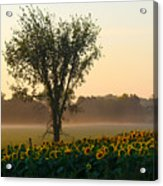 Morning Sunflowers Acrylic Print