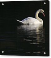 Morning Swan Acrylic Print