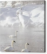 Morning Swan Trio  7845  Acrylic Print