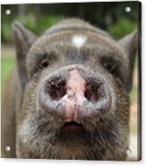 Morrison The Pig Acrylic Print