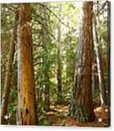Morton Pines Acrylic Print
