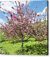 Moscow, Pink Cherries In Kolomenskoye Park Acrylic Print