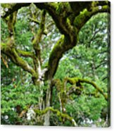 Moss Covered Arms Acrylic Print