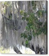 Moss Draped Tree Acrylic Print