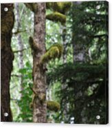 Moss-draped Trees On Tiger Mountain Wt Usa Acrylic Print