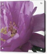 Moss Rose IIi Acrylic Print