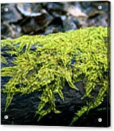 Mosss On Blackened Log Acrylic Print