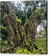 Mossy Old Tree Acrylic Print