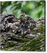Mossy Tree Knot Acrylic Print