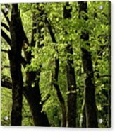 Mossy Trees In A Late Afternoon Forest Acrylic Print