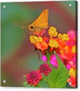 Moth #2 Acrylic Print