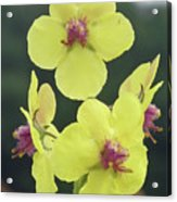 Moth Mullein Wildflowers - Verbascum Blattaria Acrylic Print