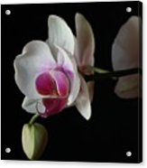 Moth Orchid 1 Acrylic Print