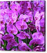 Moth Orchid Exuberance Acrylic Print