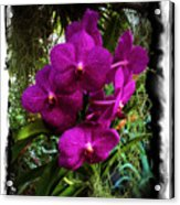 Moth Orchids  Acrylic Print