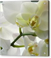 Moth Orchids - White Acrylic Print