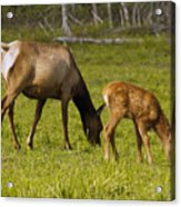 Mother Elk And Fawn Acrylic Print