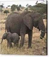 Mother And Baby Elephant Acrylic Print