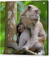 Mother And Baby Monkey Acrylic Print