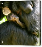 Mother And Baby Monkey Acrylic Print