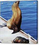 Mother And Baby Sea Lion At Oceanside  Acrylic Print