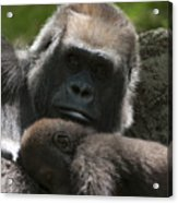 Mother And Child Gorillas1 Acrylic Print