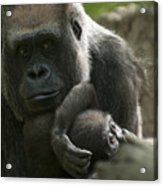 Mother And Child Gorillas4 Acrylic Print