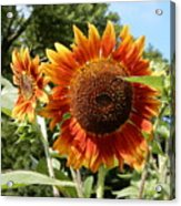 Mother And Daughter Sunflowers Acrylic Print