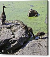 Mother And Her Ducklings Acrylic Print